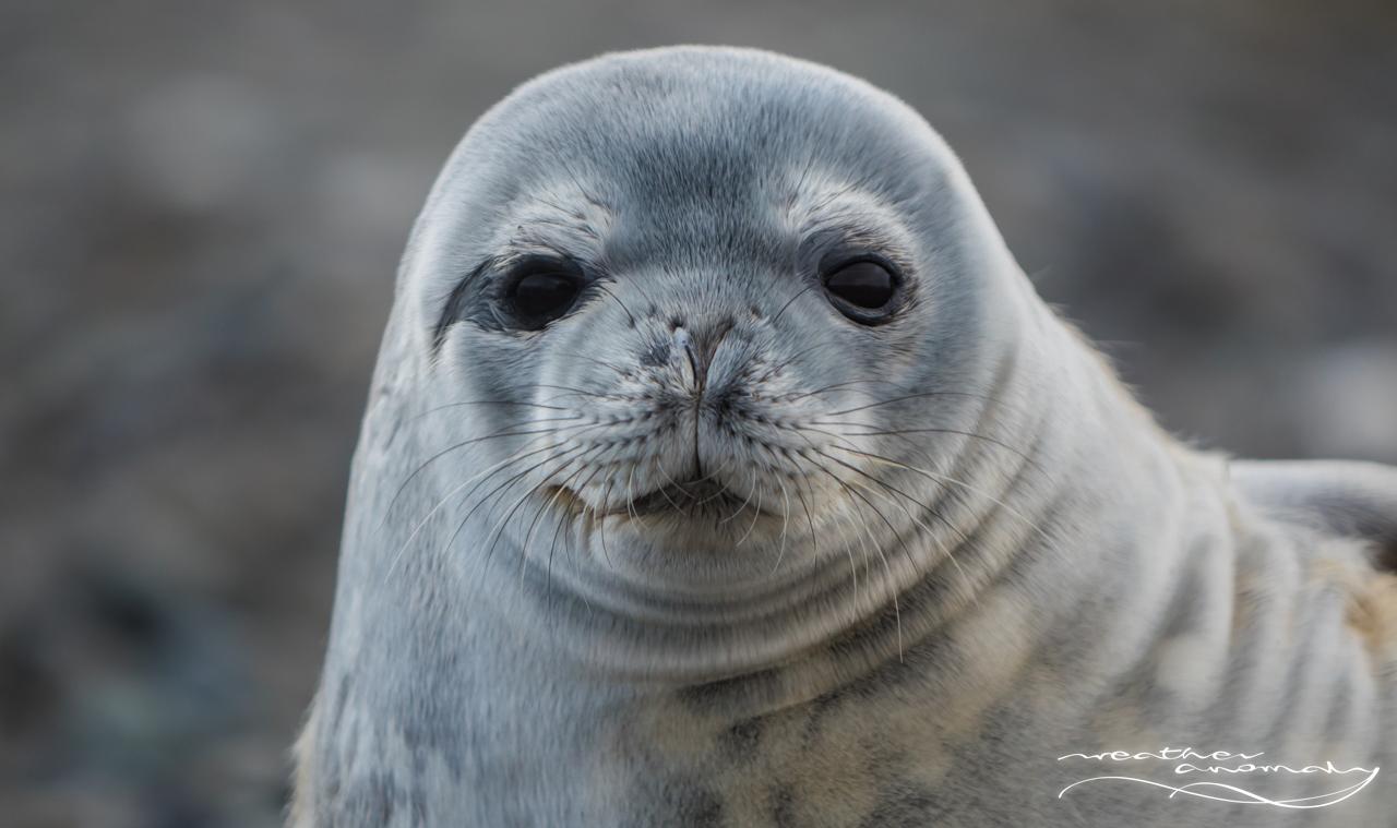 Foka Weddella | Weddell Seal