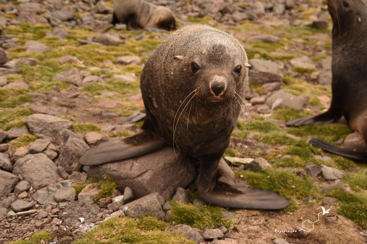 Uchatka antarktyczna | Antarctic fur seal