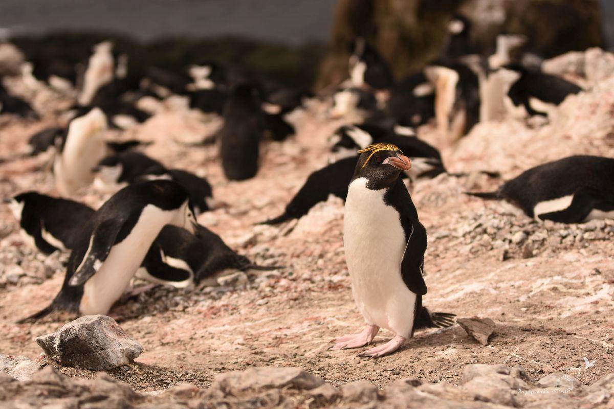 Pingwin maskowy i pingwin złotoczuby | Chinstrap penguin and macaroni penguin