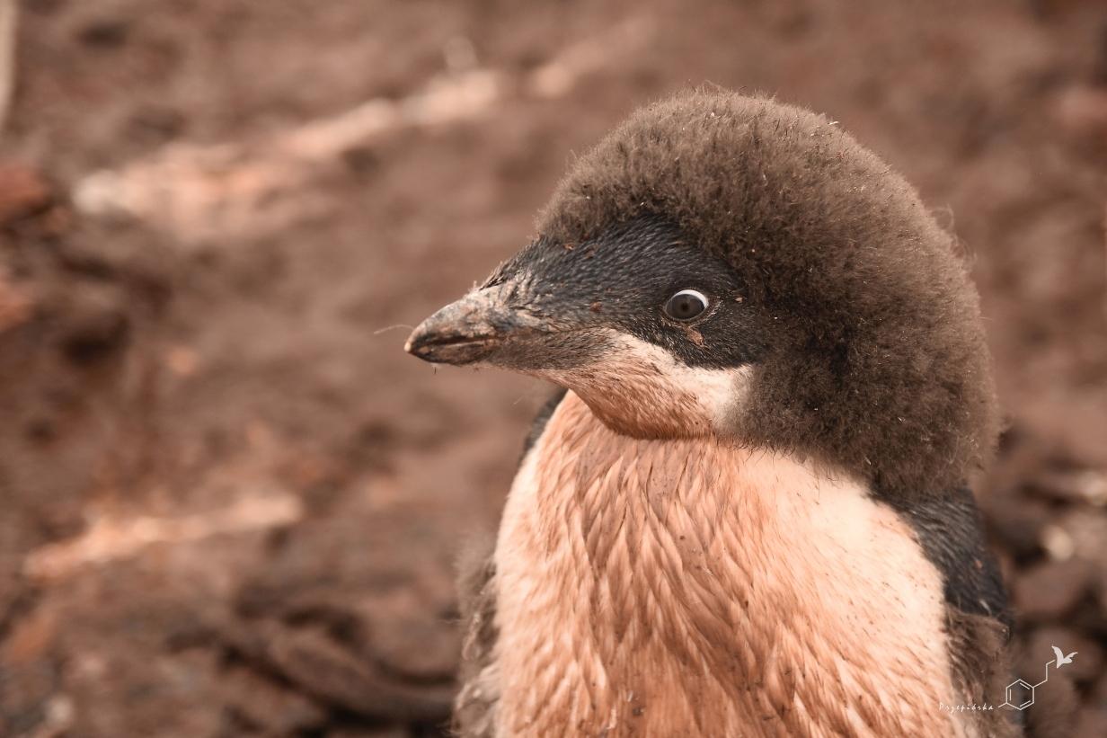 Pingwin Adeli - przepierzające się pisklę | Adélie penguin