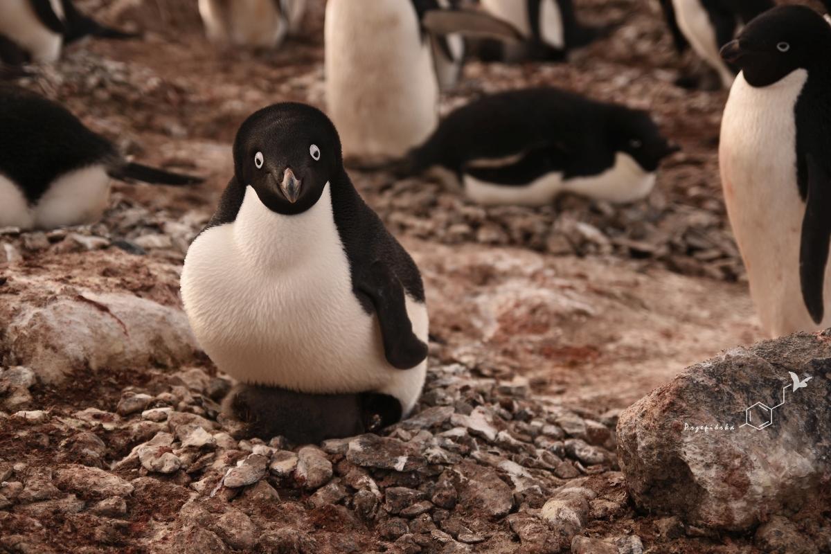 Pingwiny Adeli | Adélie penguin