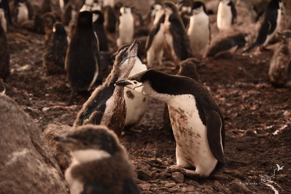 Pingwiny maskowe | Chinstrap penguin