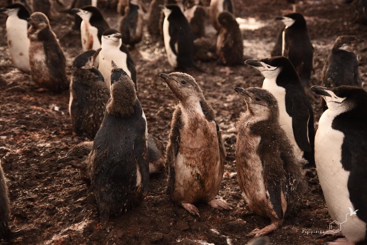 Pingwiny maskowe zmieniające pióra | Chinstrap penguin