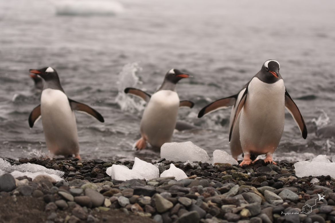 Pingwiny białobrewe | Gentoo penguin