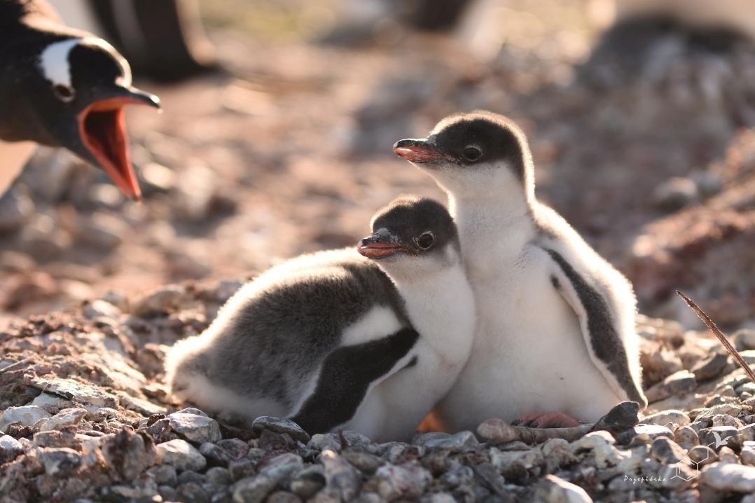 Pingwiny białobrewe - pisklęta | Gentoo penguin