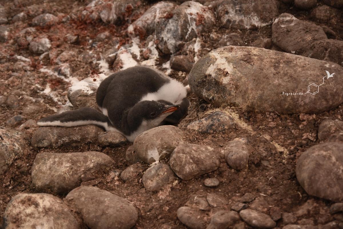 Pingwiny białobrewe - pisklę | Gentoo penguin