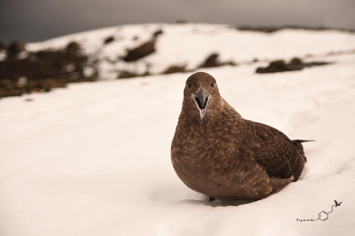Wydrzyk antarktyczny | South polar skua