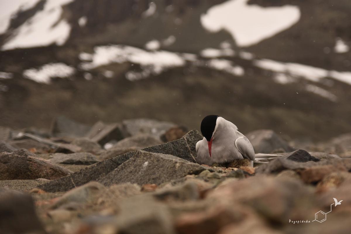 Rybitwa antarktyczna | Antarctic tern