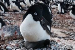 Pingwin Adeli | Adelie Penguin