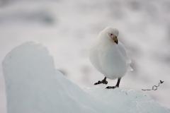 Pochwodziób żółtodzioby | Snowy sheathbill