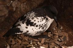 Warcabnik | Cape petrel
