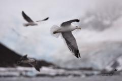 Mewa południowa | Kelp gull