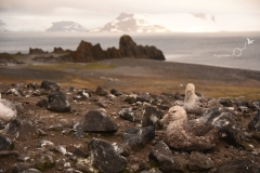Petrelec olbrzymi | Southern giant petrel