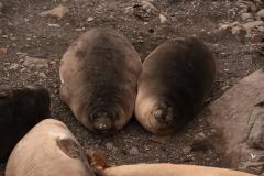 Młode słonie morskie | Elephant seal