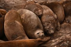 Słonie morskie | Elephant seal