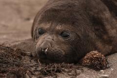 Młody słoń morski | Elephant seal