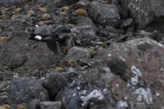 Oceannik żółtopłetwy | Wilson's storm petrel