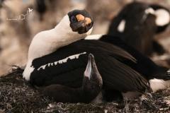 Kormoran antarktyczny | Antarctic shag