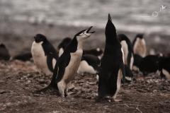Powitanie pingwinów maskowych | Chinstrap penguin