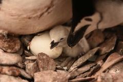 Pisklęta pingwina maskowego | Chinstrap penguin